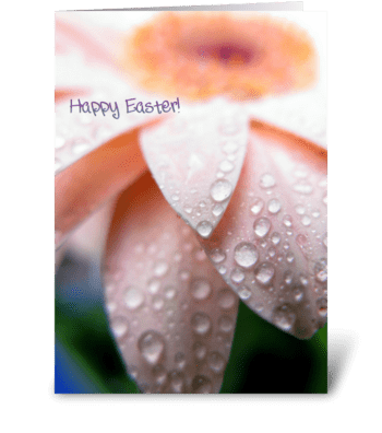 Pink Gerbera for Easter greeting card