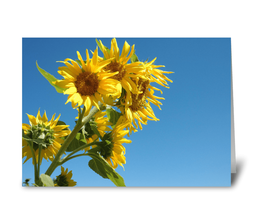 Sunflowers, Blue Sky greeting card